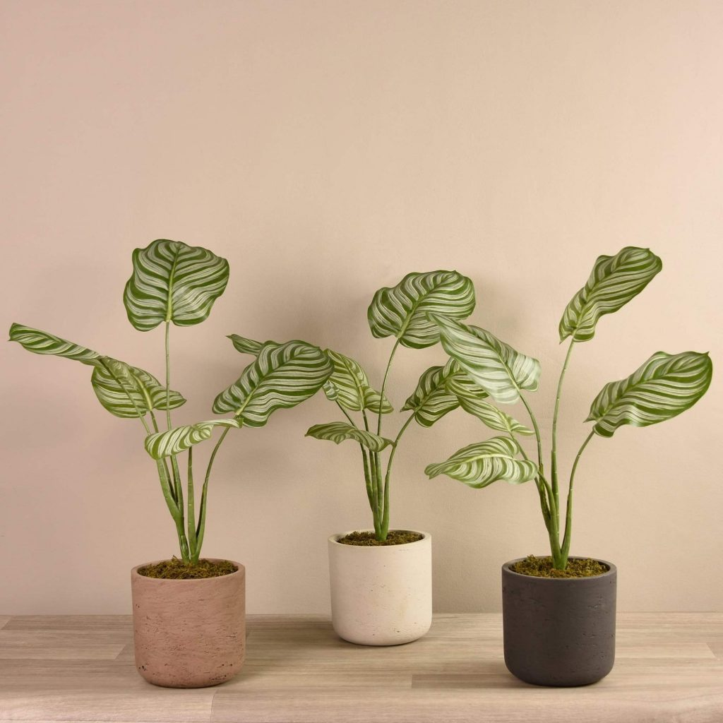 calathea  interior design