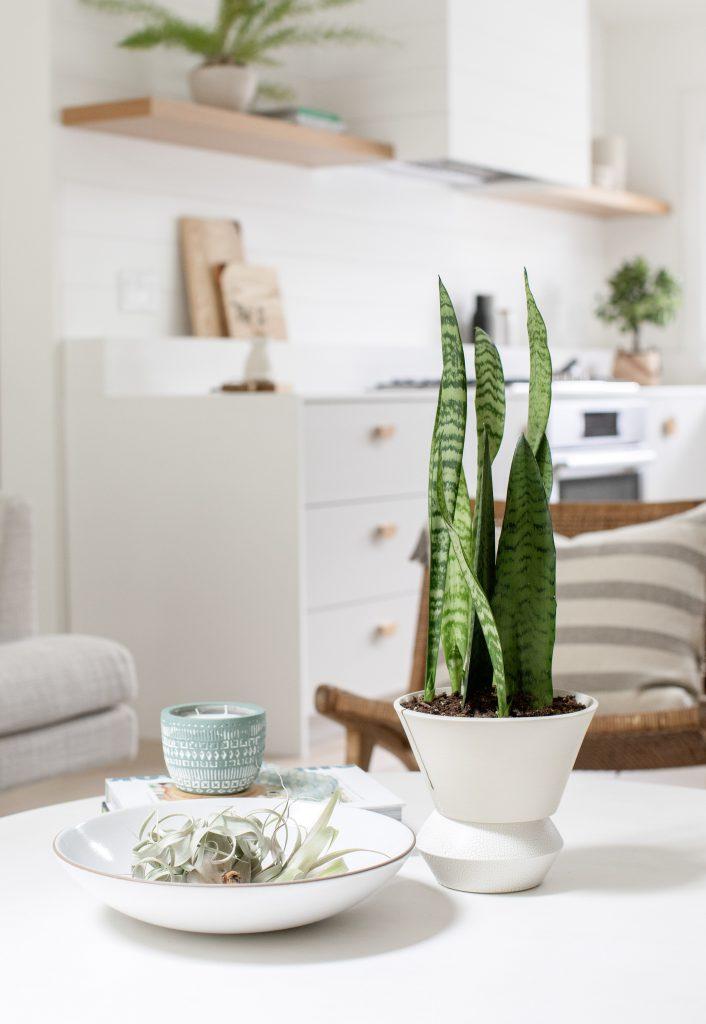 snake plant  interior design